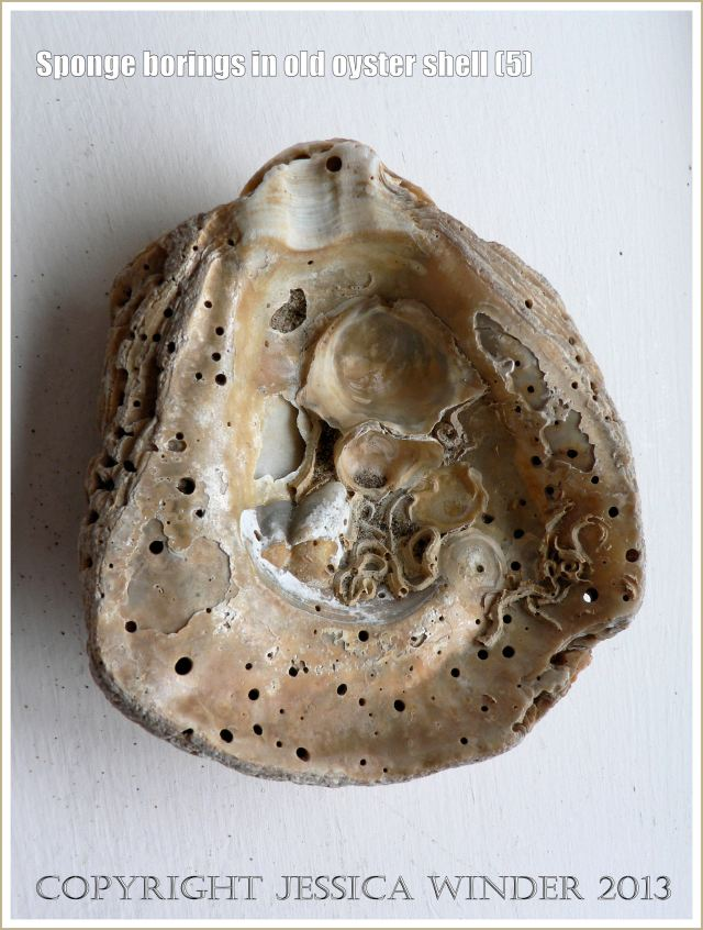 Holes made by sponge in old oyster shell