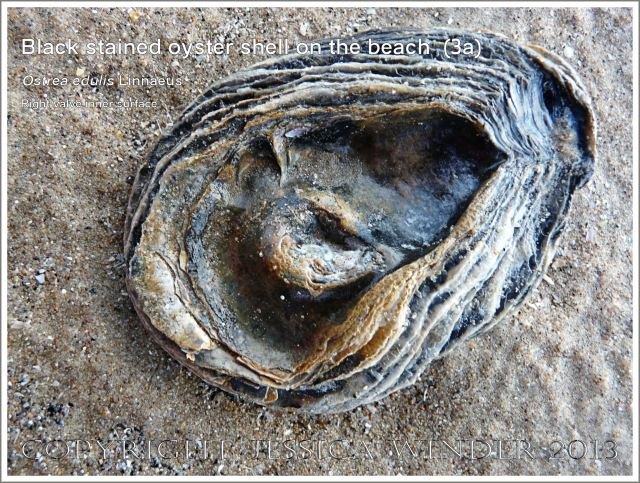 Black-stained oyster shell right valve inner surface (Ostrea edulis Linnaeus)