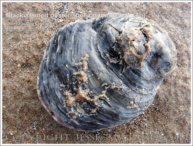 Black-stained oyster shell right valve outer surface (Ostrea edulis Linnaeus)