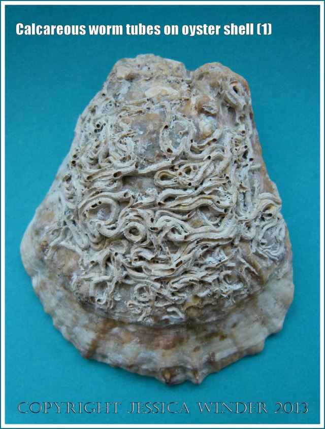 Calcareous Worm Tubes on Oyster Shell (1)