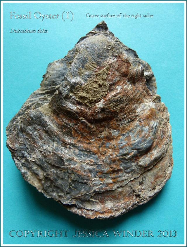 Fossil oyster shell, Deltoideum (Liostrea) delta, paired valves with right valve uppermost.