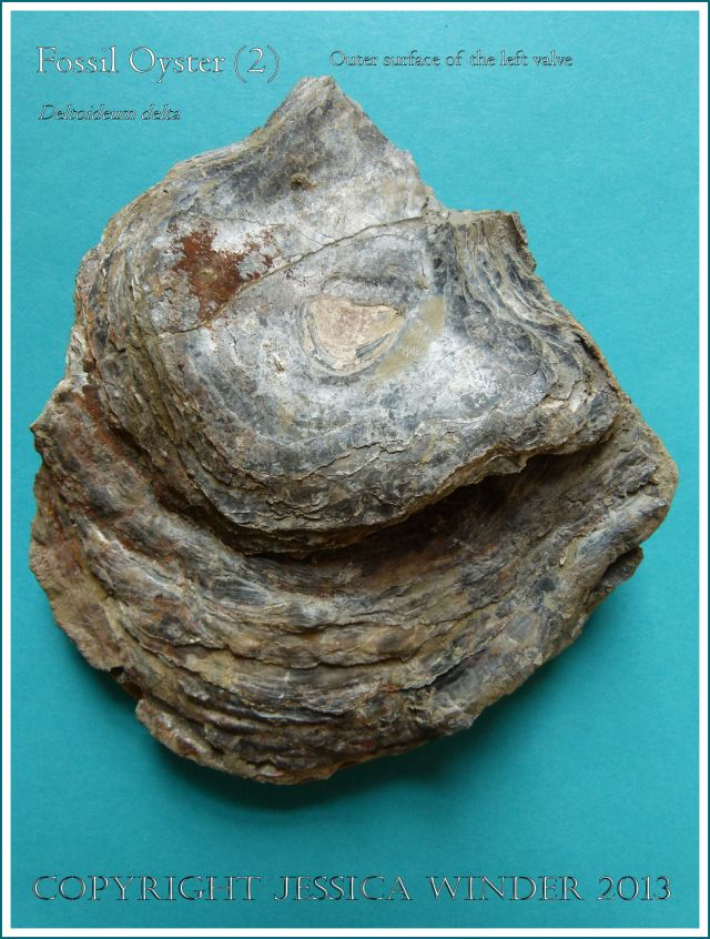 Fossil oyster shell, Deltoideum (Liostrea) delta, paired valves with left valve uppermost.