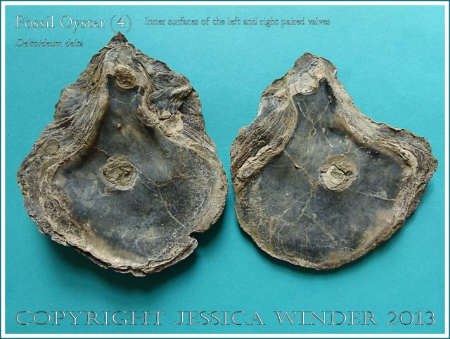 Fossil oyster shell, Deltoideum (Liostrea) delta, paired valves with left and right valves separated to show the inner surfaces.