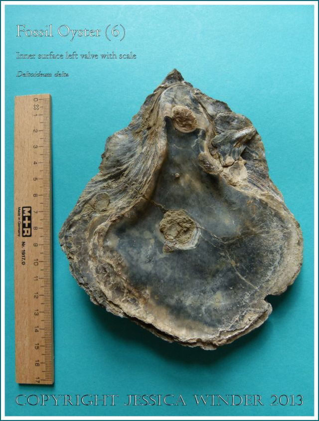 Fossil oyster shell, Deltoideum (Liostrea) delta, inner surface of left valve displayed with scale.