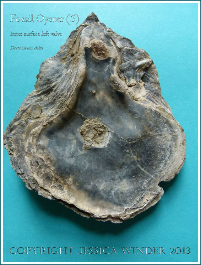 Fossil oyster shell, Deltoideum (Liostrea) delta, inner surface of left valve displayed.