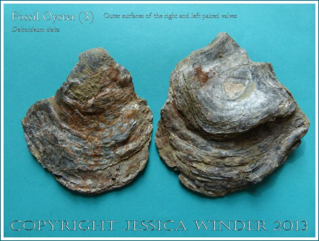 Fossil oyster shell, Deltoideum (Liostrea) delta, paired shells separated to display the outer surfaces of the right and left valves.
