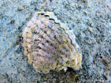 Live wild oysters at Port Douglas in Queensland