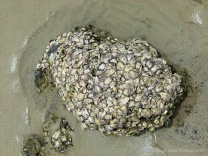 Australian oysters at Cape Tribulation