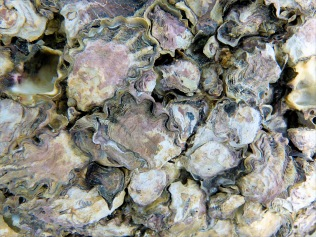 Australian oysters at Cape Tribulation