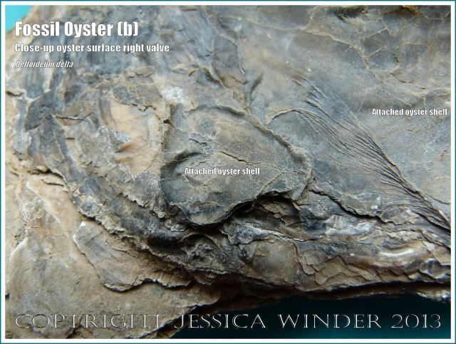 Fossil Oysters - Deltoideum delta