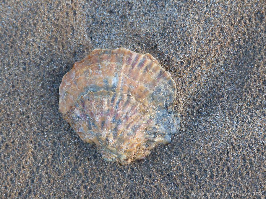 Beach-worn oyster shell on a sandy beach