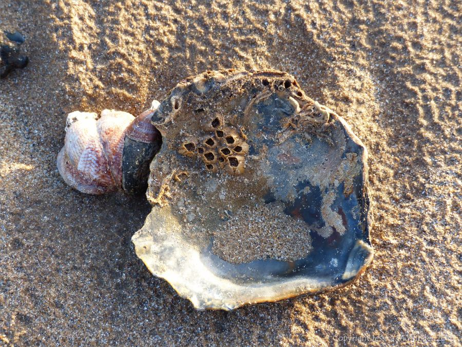 Oyster shell on beach with slipper limpets