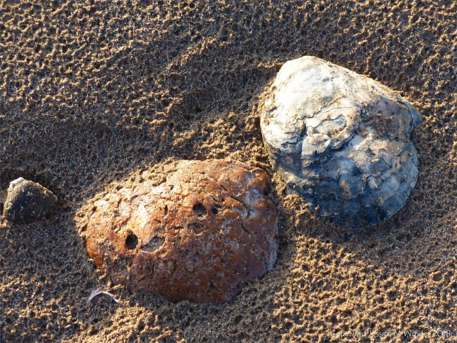 Oyster shells on beach sand