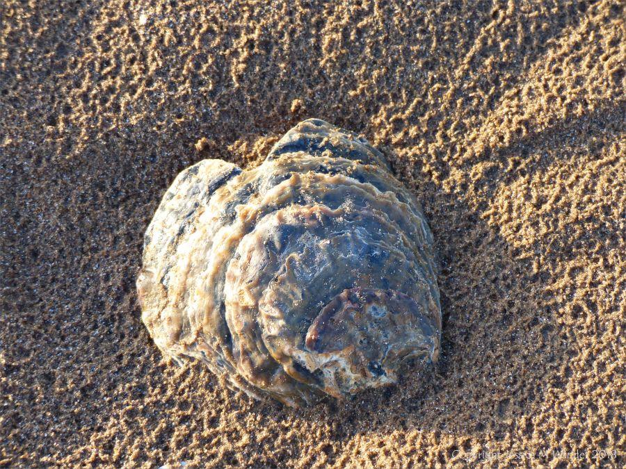 Oyster shell on beach sand
