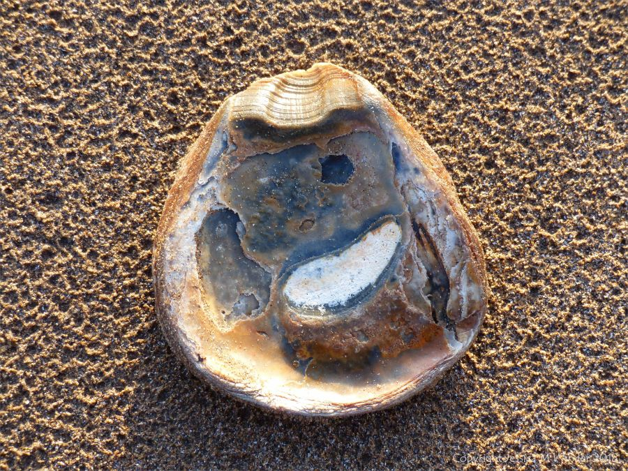 Oyster shell on a sandy beach