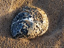 Oyster shell on the beach