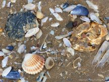 Old oyster shells on the beach with other common British seashells - oyster shell variations