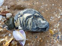 Old oyster shell on the beach with other common British seashells - oyster shell variations