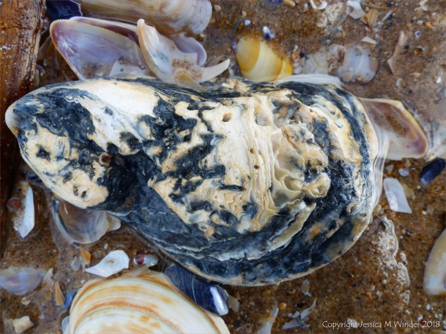 Old oyster shell on the beach - oyster shell variations