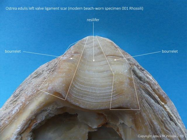 Ostrea edulis left valve ligament scar