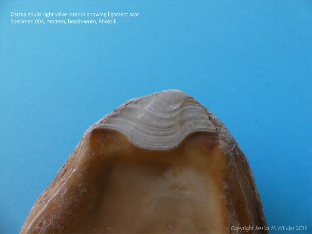 Ostrea edulis right valve ligament scar