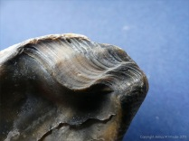 Modern beach-worn Ostrea edulis Flat Oyster shell ligament scar with growth lines