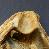 Modern beach-worn Ostrea edulis Flat Oyster shell ligament scar with growth lines